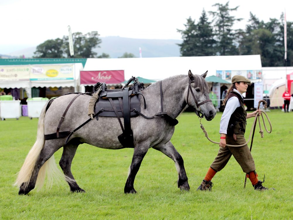 Highland Pony Showing